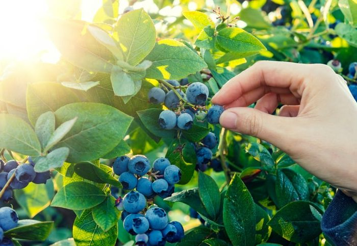 Berry Picking in the Poconos